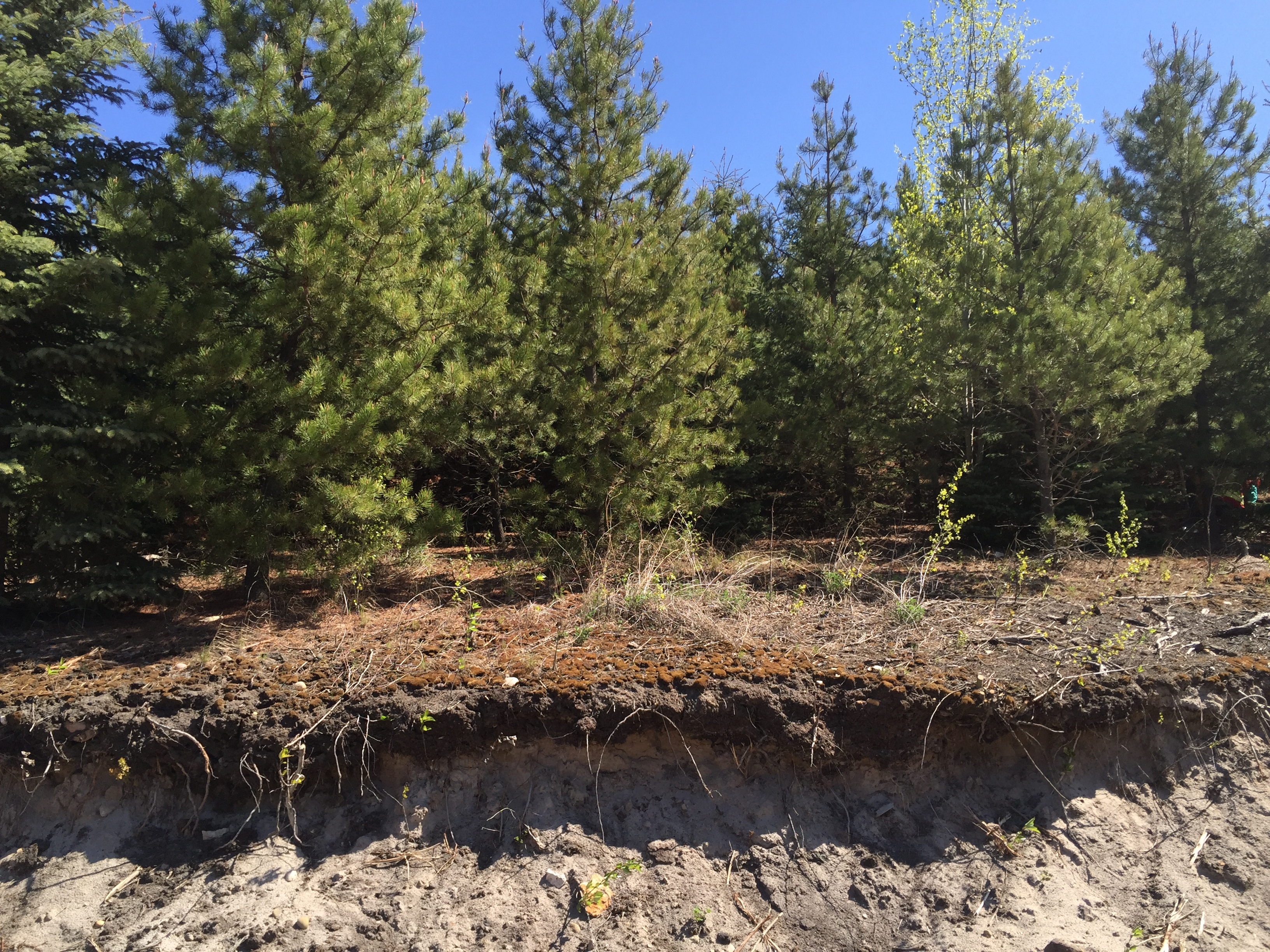 A cut away view of an engineered soil cap covering tailing sands, supporting advanced pine tree regeneration