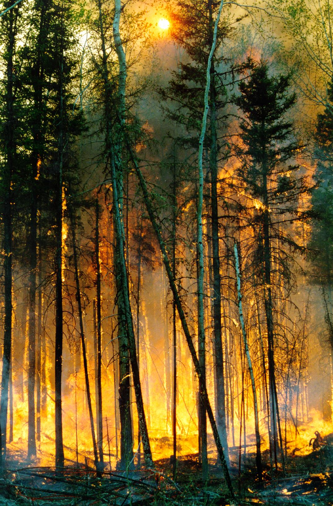 Wildfire in a boreal forest stand