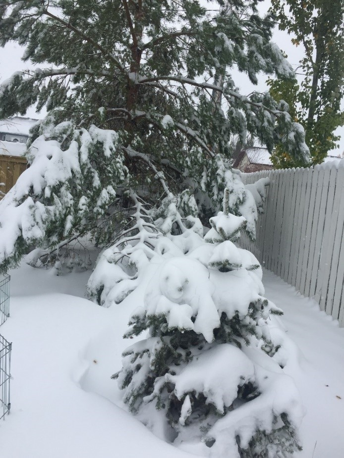 tree weighed down with snow