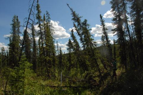 leaning trees in an Alaskan forest