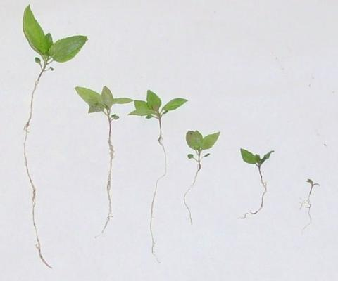 aspen seedlings decreasing in size
